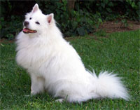 a well breed American Eskimo Dog