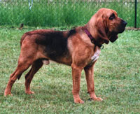 a well breed Bloodhound dog