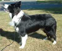 a well breed Border Collie dog