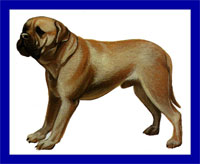 a well breed Bullmastiff dog