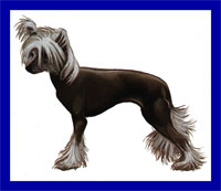 a well breed Chinese Crested dog