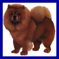 a well breed Chow Chow dog