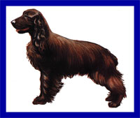 a well breed Field Spaniel dog