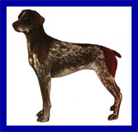 a well breed German Shorthaired Pointer dog