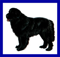 a well breed Newfoundland dog