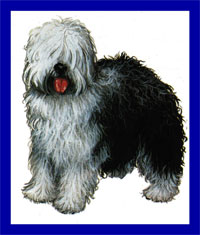 a well breed Old English Sheepdog