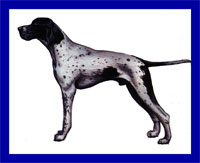 a well breed Pointer dog