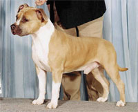 a well breed American Staffordshire Terrier dog