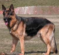 a well breed German Shepherd dog